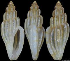 Eucithara sp. (Philippines, 9,2mm)