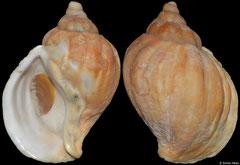 Pyrolofusus deformis (Bering Sea, Russia, 81,0mm)