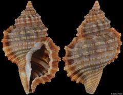 Monoplex durbanensis (South Africa, 28,0mm)