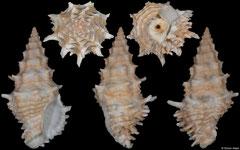 Altivasum hedleyi (Western Australia, 141,7mm)