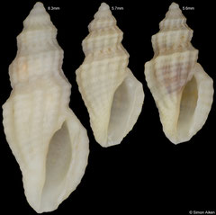 Guraleus sp. (Philippines, 8,3mm, 5,7mm, 5,6mm) F+++ €3.00 each
