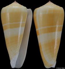 Conus consors (Philippines, 73,0mm)