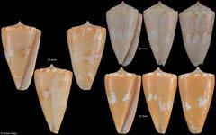Conus magellanicus (Guadeloupe) F++ €50.00