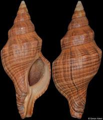 Filifusus manuelae (Madagascar, 105,0mm) F+/F++ €28.00