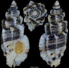 Favartia erosa (Pacific Panama, 14,3mm)
