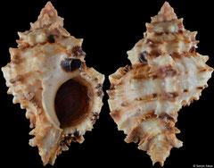 Phyllonotus peratus (Pacific Mexico, 64,0mm)