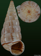Macroceramus lineatus (Haiti, 17,6mm)