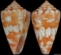 Conus brasiliensis (Brazil, 22,3mm) F++ €49.00