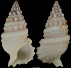 Cerithium torulosum (Mauritius, 23,4mm)