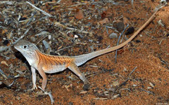 Madagascan sand lizard (Chalarodon madagascariensis), Ifaty-Mangily, Madagascar