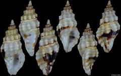 Hemicythara octangulata (Philippines, 7,5mm, 6,8mm)