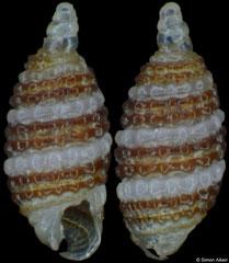 Synthopsis bicinctus (Philippines, 1,8mm) F+++ €6.00