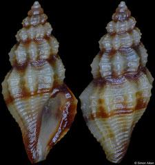 Guraleus sp (Philippines, 5,2mm)