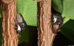 Treehopper (Membracidae sp.), Broome, Western Australia