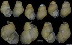 Provanna subglabra (Okinawa Trough, 6,3-9,4,mm)
