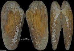 Calyptogena diagonalis (Peru Subduction Zone, 96,6mm)