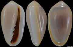 Prunum storeria (Venezuela, 14,2mm) F++ €5.00