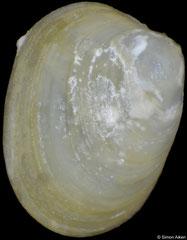Altenaeum charcoti (South Shetland Islands, 2,1mm)