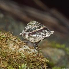 Geophorus agglutinans siquijorensis (Siquijor, Philippines)