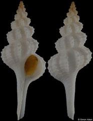 Vermeijius pallidus (Rowley Shoals, Western Australia, 58,0mm)