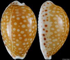 Cypraea gaskoini (Hawaii, 21,4mm)