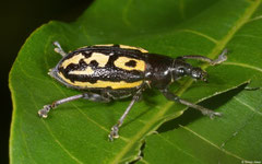 Weevil (Curculionidae sp.), Loma Catalina, Dominican Republic