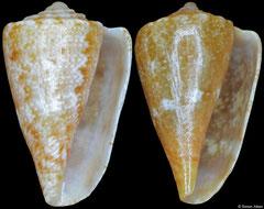 Conus rutilus smithi (Western Australia, 10,7mm, 10,5mm)
