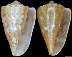 Conus rutilus form 'smithi' (Western Australia, 10,7mm, 10,5mm)