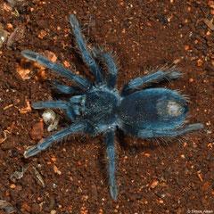 Tarantula (Phormictopus sp.), Manuel Goya, Pedernales peninsula, Dominican Republic