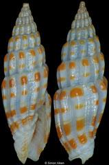 Vexillum emmanueli (Philippines, 11mm, 11mm)