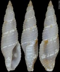 Daphnella sp. (Philippines, 10,8mm)