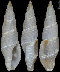 Daphnella atractoides (Philippines, 10,8mm)