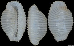 Novatrivia aikeni (Philippines, 4,6mm)