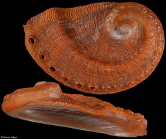 Haliotis parva (South Africa, 25,5mm)