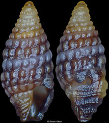 Carinapex minutissima (Philippines, 3,2mm) F++ €1.00 (specimens for sale are 3-4mm and are of the same quality as the specimen illustrated)