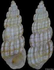 Pyramidellidae sp nov (Philippines, 5,3mm)