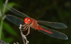 Scarlet skimmer (Crocothemis servilia), Kampong Trach, Cambodia