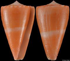 Conus daucus (Dominican Republic, 30,6mm)