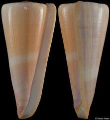Conus kintoki (Philippines, 88,8mm)
