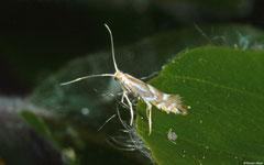Leaf miner moth (Phyllonorycter maestingella), York, UK