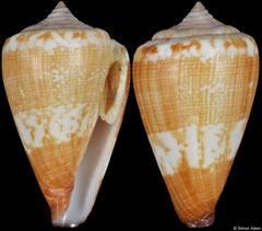 Conus swinneni (Cape Verde, 25,6mm)