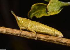 Gaudy grasshopper (Pyrgomorphidae sp.) nymph, Miary, Madagascar