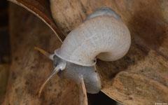 Kisslingia poloensis (N of Polo, Dominican Republic)
