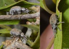 Snout weevil (Curculionidae sp.), Ifaty-Mangily, Madagascar