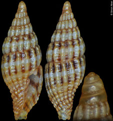 Vexillum kuboi (Philippines, 7,3mm)