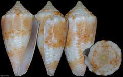 Conus bodarti (Brazil, 12,2mm)