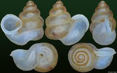Opisthostoma macrostoma (India, 3,4mm)