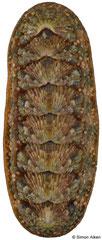 Ischnoplax pectinata (Brazil, 25,3mm)