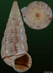 Macroceramus lineatus (Haiti, 17,6mm) F+++ €2.00