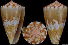 Conus cargilei (Brazil, 22,5mm)